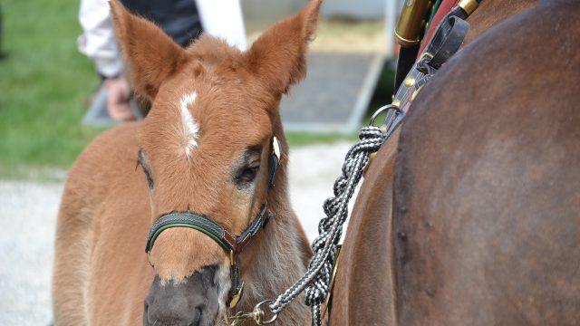 Pferdemarkt in Zuidlaren