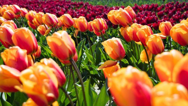 4 Tage zur Tulpenblüte in Holland – Amsterdam mit Keukenhof